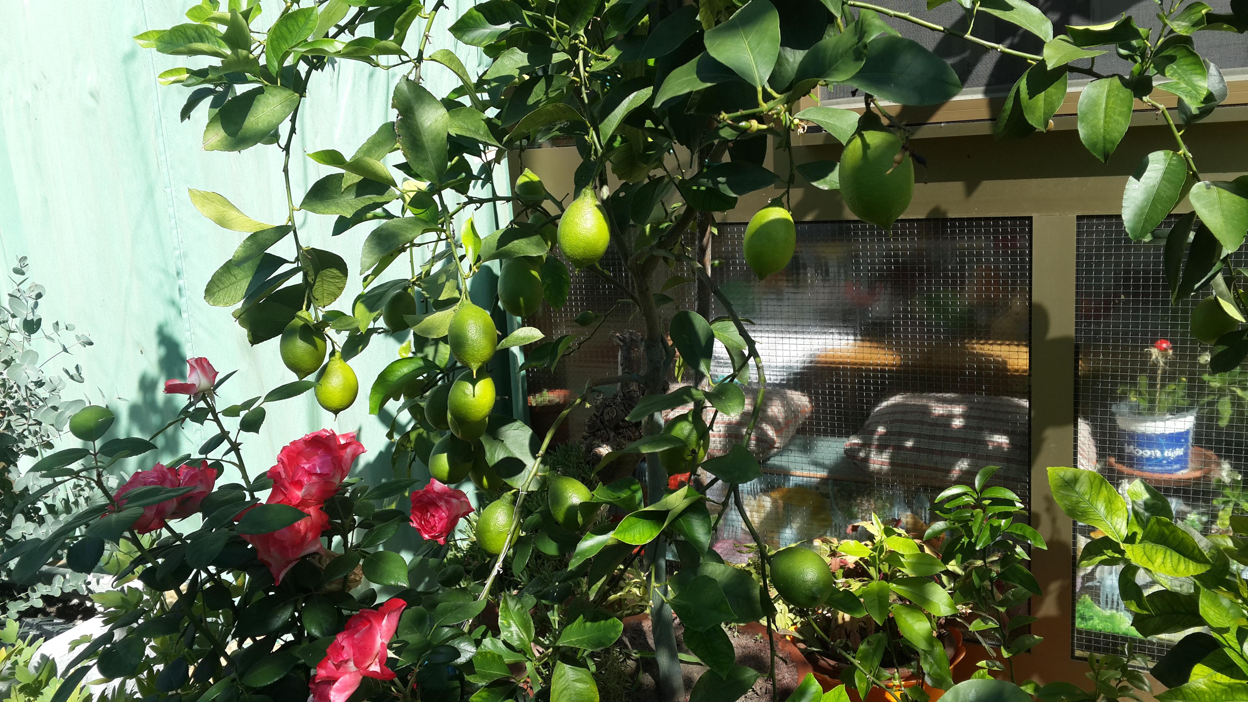 Pianttina di Limoni